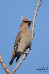 Waxwing Portrait (AndyNeal) Tags: animal wildlife nature bird waxwing winter wintervisitors essexwildlifetrust essex
