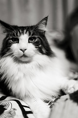 No Spirit' n' Shadow:月光-Moonglow. Click. (miyukiz4 ɥsıןƃuǝ ɹood) Tags: кошка mačka кот en katt köttur კატა un gat katze macska chat katė pisică котенок pisoi kačiukas kotek chaton cica kätzchen mačiatko kettlingur cat kitty