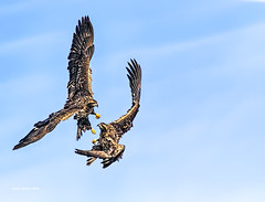 Boys will be Boys! (jackalope22) Tags: eagles immature fight sparring scapping flight boys