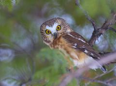 Northern Saw-Whet Owl (Khanh B. Tran) Tags: