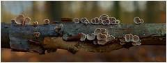 III (ⒶZ-Photo) Tags: olympus omdem5ii mzuiko1240mm28 focusstacking combinezp panorama hugin gimp darktable pilz makro mushroom macro