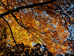 Golden canopy (EvelienNL) Tags: tree trees autumn fall leaves leafs herfst herfstblad herfstbladeren herfstkleuren bladeren boom bomen sunshine sunlight sunlit backlit zonneschijn zonlicht tegenlicht beech beuk beukenboom branches twigs takken boomtak takjes texture textuur yellow geel gele orange oranje forest bos sky bluesky lucht blauwelucht canopy bladerdak