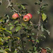 Apples In Normandy