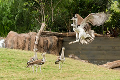 Kori Bustartds (shutterbugdancer) Tags: ostrich africansavanna reticulatedgiraffe fortworthzoo adra
