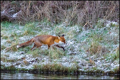 Red Fox (John R Chandler) Tags: animal brandonmarsh fox mammal redfox unitedkingdom vulpesvulpes warwickshire warwickshirewildlifetrust coventry uk gb