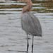Reddish Egret - Egretta rufescens, Merritt Island National Wildlife Refuge, Titusville, Florida