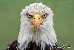 A very soggy Bald Eagle (Anne Marie Fraser) Tags: eagle wet soggy baldeagle nature parcomega raptor bird