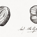 Two hazelnuts sketches by Julie de Graag (1877-1924). Original from the Rijks Museum. Digitally enhanced by rawpixel. thumbnail
