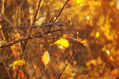 HBW bright (Frau Koriander) Tags: hbw happybokehwednesday bokehwednesday bokeh dof depthoffield nature natur nikond300s meyergörlitzdomiplan5028 domiplan 50mm 5028 kranichstein leaf blatt blätter leaves äste zweige light lighting naturallight