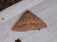 Epidesmia chilonaria (dhobern) Tags: 2019 act australia geometridae january lepidoptera namadginationalpark oenochrominae epidesmiachilonaria