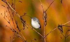 Golden Blue Gray (agnish.dey) Tags: bird birding birdwatching bokeh tree goldenhour coth animalplanet naturallight nature naturephotograph nikon naturethroughthelens florida d500