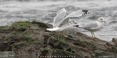 Ring Billed Gulls 2018 (John Hoadley) Tags: ringbilledgull niagarafalls ontario december 2018 canon 7dmarkii 100400ii f56 iso1250 bird gull
