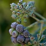 Frozen Ivy thumbnail