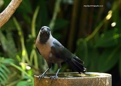 IMG_4467 House Crow (Corvus splendens) (vlupadya) Tags: greatnature animal bird aves fauna house crow corvus kundapura karnataka