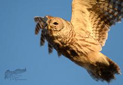 Barred Owl 12_18 3 (krisinct- Thanks for 15 Million views!) Tags: nikon d500 300 f28