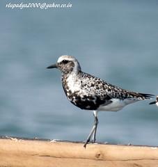IMG_3396 Grey Plover (Pluvialis squatarola) (vlupadya) Tags: greatnature animal bird aves fauna indianbirds grey plover pluvialis kundapura karnataka