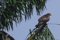 AQUILA AFRICANA   ---   CASSIN'S HAWK-EAGLE (Ezio Donati is ) Tags: uccelli birds animali animals alberi trees palma palm natura nature africa costadavorio abidjan