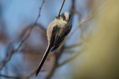 DSC_1138_Edit (Clive Webber) Tags: aegithalidae aegithaloscaudatus belgium bird brielmeersen deinze longtailedtit oostvlaanderen places passeriformes