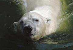 1991 Eisbären Zoo Berlin (rieblinga) Tags: berlin west zoo eisbären schwimmen wasser 1991 gehege analog canon eos 100 agfa ct100i diafilm e6