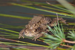 Toads in the lake_Kröten im See (hundertblumen) Tags: toads lake kröten see mating