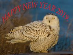Snowy Owl. (Estrada77) Tags: snowyowl owl birds birding birdsofprey raptors distinguishedraptors wildlife winter2018 feb2018 cookcounty chicagolakefront outdoors nikon nikond500200500mm nature