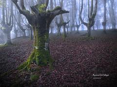 centenario (azucena G. De Salazar) Tags: arbol trees zuhaitzak basoa forest bosque hayedo urkiola parquenaturalurkiola bizkaia basquecountry paisvasco euskalherria euskadi otoño niebla lainoa fog