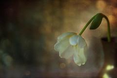 Un tulipan blanco (saparmo) Tags: tulipan tulip flor flower still bodegón bokeh texturas textures