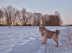 In the Snow (Alexis Kaylen) Tags: dog grey doggo norwegian elkhound norwegianelkhound cute bitch norway snow winter