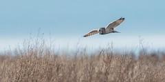Short Eared Owl (RJ Thomas Photography) Tags: short eared owl d850 nikon 200500 mm