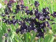 Irises 7 (D. S. Hałas) Tags: halas hałas canada ontario haltonregion wentworthcounty burlington aldershot royalbotanicalgardens botanicalgarden lakinggarden magnoliophyta liliopsida asparagales iridaceae iris flower