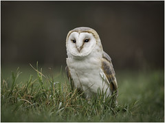 Barn Owl (Charles Connor) Tags: barnowl owls raptors birdsofprey birds lowpov naturephotography nature narrowdepthoffield largeaperture backgroundblur bokeh featherdetail feathers plumage beautifuleyes eyes grass canondslr