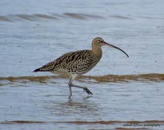 Curlew (patrickcolhoun) Tags: curlew nature wildlife animal birdwatch water loughswilly donegal ireland buncrana countydonegal