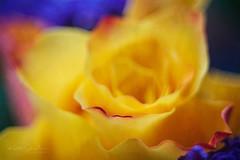 Mellow yellow (Karsten Gieselmann) Tags: blau blumen blüten bokeh dof em5markii farbe fujinon55mmf22 gelb microfourthirds natur olympus pflanzen rose rot schärfentiefe vintagelens blossom blue color flower kgiesel m43 mft nature plants red yellow