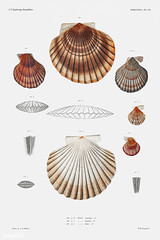 Clam shell varieties vintage poster (Free Public Domain Illustrations by rawpixel) Tags: animal antique aquatic art augustus augustusaddisongould beach bivalve book cc0 clam creativecommons0 creature decor decoration design drawing expedition food free gould illustration images life marine mediterranean mollusc molluscashells name nautical northatlantic ocean old painting pecten picture poster print publicdomain science scientific scientificexpeditions sea seafood seashell shell shells species vintage zoology
