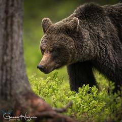 Wary Bear (GunnarImages (Gunnar Haug)) Tags: forest mother brownbear power wildlife tree cute mammal pretty landscape nordic green brown blueberry blue love