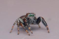 IMG_0961 (komusinmarek) Tags: evarcha arcuata jumpingspider jumping spider macro france magnification salticidae eyes greeneyes