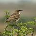 Northern Pied-Babbler - Nairobi NP - Kenya CD5A9681