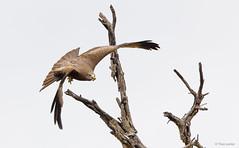 Yellow-billed Kite -8787 (Theo Locher) Tags: birds geelbekwou milvusparasitus oiseaux vogels vögel yellowbilledkite southafrica zuidafrika krugernationalpark kruger copyrighttheolocher