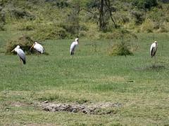 Yellow-billed stork - Mycteria ibis (Linda DV) Tags: mycteriaibis yellowbilledstork ciconiiformes lindadevolder africa 2018 lumix travel geotagged nature kenya fauna naivasha lake wileliwildlifepark