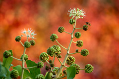 autumnal umbels (Simon[L]) Tags: umbels flowers fatsia castoroilplant wasp autumncolours canonfd100300mmf56l
