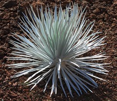 9167_Maui Haleakala Plant (Chicamguy) Tags: hawaii hawaiian islands maui