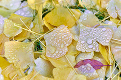 autumnal ground (Aspenlaub (blattboldt)) Tags: nature ginko yellow yellowleaves autumnleaves fall water drops beauty wet sonyilce7rm3 ilce7rm3 zeiss zeissloxia2485sonnart 85mm loxia2485sonnar loxia2485 emount dew garden sony alpha7riii manualfocus manualiris ⚶ 51695547 sonnar physiognomic morphologic ギンコ 銀甲 露珠 dewdrops crop wabisabi polarizer circularpolfilter specialthankstochristophecasenaveandhisteamfromzeissfortheirpersonalinvolvementinthedevelopmentoftheloxialensline leftover remains laudātū 侘寂 無常