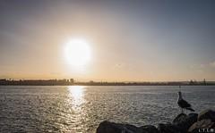 San Diego-15 (San Diego Bay) (LTL78) Tags: sandiego california usa fujifilm x100t bay bahía water seagull gaviota