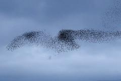 Starling Murmurations (Dougie Edmond) Tags: nird nature wildlife prestwick scotland unitedkingdom gb