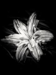 LÍRIO (Jakza) Tags: pb mono flor frenteafrente challenge desafio15 friendlychallenges