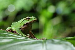 2J4A8069 (ajstone2548) Tags: 12月 樹蛙科 兩棲類 翡翠樹蛙