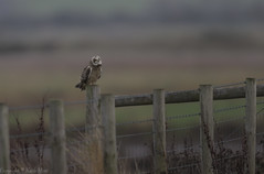 Short Eared Owl - Stargazing - (Asio flammeus) - 'Z' for zoom (hunt.keith27) Tags: talons bird feathers wings quartering asioflammeus shortearedowl owl eyes beautiful magnificent medium sized owls pale underwings yellow mammals especially voles animal canon grass somerset sigma post perched