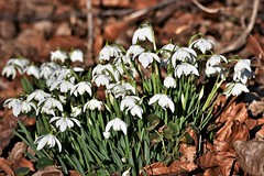 Spring is on the way. (pstone646) Tags: flowers flora white green leaves nature snowdrops sunshine petals