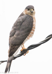 Sharp-shinned hawk #2 (rdroniuk) Tags: birds raptors birdsofprey hawks accipiters sharpshinnedhawk accipiterstriatus oiseaux rapaces oiseauxdeproie épervierbrun