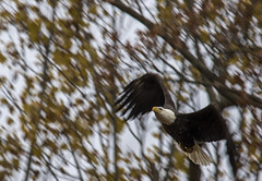 Bald Eagle..... (Kevin Povenz Thanks for all the views and comments) Tags: 2018 november kevinpovenz westmichigan michigan ottawa ottawacounty ottawacountyparks nature wildlife fall autumn baldeagle eagle earlymorning early bird birdsofprey canon7dmarkii sigma150500 panning trees woods fly flying flight wings blur